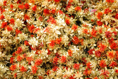 Drying flower Royalty Free Stock Image