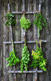 Drying fresh herbs Stock Images