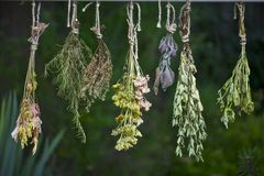 Drying fresh herbs Stock Photography
