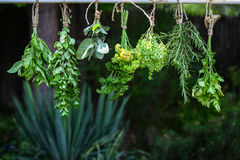 Drying fresh herbs Royalty Free Stock Image