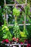 Drying fresh herbs Stock Image