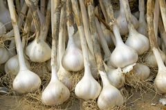 Drying Garlic Stock Images