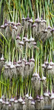 Drying of garlic. The stem and root of garlic in large quantities are dried in the fresh air Stock Photo