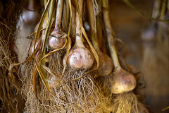 Drying of garlic in a wooden shed Stock Image