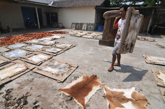 Drying goatskin for crafts Royalty Free Stock Photography