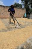 Drying grain Royalty Free Stock Image