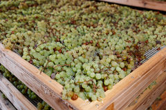 Drying grapes for making dessert wine Royalty Free Stock Image