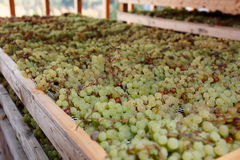 Drying grapes for making Vino Santo, Italian dessert wine. Drying grapes for making Vino Santo, famous Italian dessert wine Royalty Free Stock Images
