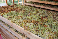 Drying grapes for making Vino Santo, Italian dessert wine Royalty Free Stock Photos