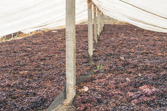 Drying grapes for raisins Royalty Free Stock Image