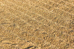 Drying harvested rice in a flat field Royalty Free Stock Image