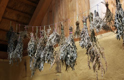 Drying herbs and spices. In a dark, well ventilated area. Good places for drying the air loft where you can just hang bushes and natural way-dried for use in royalty free stock photo