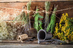 Drying herbs for tincture as alternative medicine Stock Photo