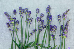 Drying lavender Stock Images