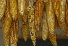 Drying Maize. Guatemala Royalty Free Stock Photography