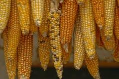 Drying Maize. Guatemala Stock Image