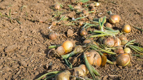 Drying mature onions on the field shortly before harvesting Royalty Free Stock Photo