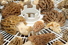 Drying Morel Mushroom Stock Image
