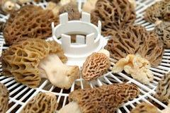 Drying Morel Mushroom Stock Image