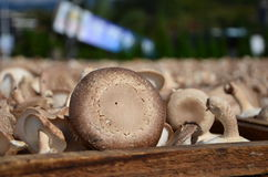 Drying mushroom Stock Photography