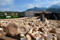 Drying mushroom and blue sky Stock Photography