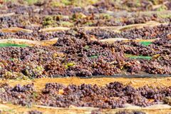 Free Drying Of Sweet Wine Pedro Ximenez Grapes Under Hot Sun In Montilla-Moriles Wine Region, Andalusia, Spain Royalty Free Stock Photos - 177036598