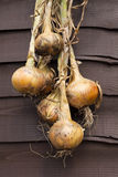 Drying Onions royalty free stock images