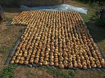 Drying onions Stock Images