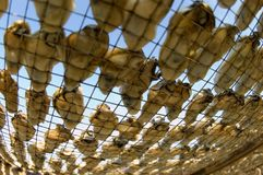 Drying Oyster In Lau Fou Shan 02 Stock Image