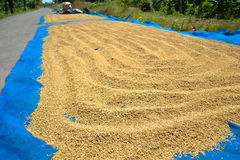 Drying paddy Royalty Free Stock Photo