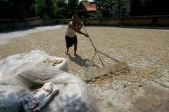 Drying peanuts Stock Image