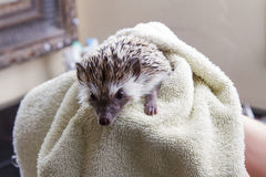 Drying a pet hedgehog off. After giving it a bath Royalty Free Stock Photos