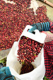 Drying red berries coffee in the sun royalty free stock photography