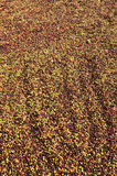 Drying red berries coffee in the sun Stock Images