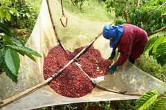 Drying red berries coffee in the sun Royalty Free Stock Photos