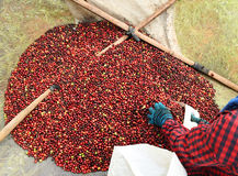 Drying red berries coffee in the sun Stock Photos