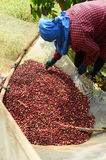 Drying red berries coffee in the sun Stock Image