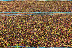 Drying red berries coffee in the sun Royalty Free Stock Images