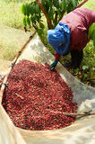 Drying red berries coffee in the sun Stock Photography