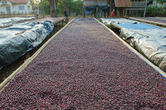 Drying red coffee berries Royalty Free Stock Images