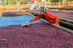 Free Drying Red Coffee Berries Royalty Free Stock Photo - 38315235