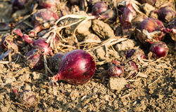 Drying red onions on the field from close Royalty Free Stock Photo