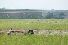 Drying rice Stock Image