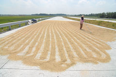 Drying rice Royalty Free Stock Images