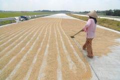 Drying rice Royalty Free Stock Photos