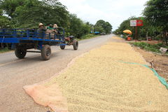 Drying rice grains on a road in Cambodia stock images