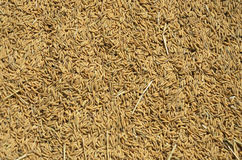 Drying rice seed Royalty Free Stock Image
