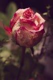 Drying rose Stock Photos