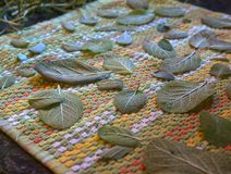 Drying sage leaves royalty free stock photos