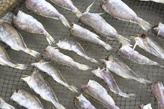 Drying of Salted Fish Stock Photo